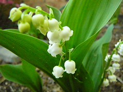 lily of the vallye
