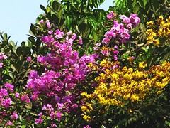 Colourful summer trees (Indianature sk) Tags: summer india tree nature garden bombay maharashtra mumbai victoriagardens lythraceae caesalpiniaceae lagerstroemia byculla lagerstroemiaspeciosa peltophorum copperpod indianature peltophorumpterocarpum ranibagh lagerstroemiaflosreginae snonymous jijabaibhonsleudyan