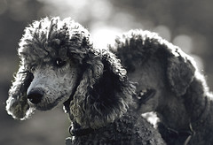 In The Grasp (The Pack) Tags: bw dogs silver play mercury tag curls explore poodle bite standard frontpage bestinshow standardpoodle grasp 85mmf14 utatafeature thepack:a=1