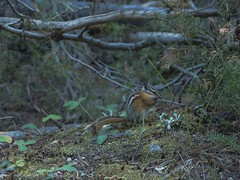 chipmunk (reyfox) Tags: city mountains forest rocks little idaho stanley hoodoos sawtooth sawtooths