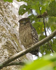 Brown fish owl (Ketupa zeylonensis) (Lip Kee) Tags: bird aves wildlifenature brownfishowl ketupazeylonensis fbwnewbird fbwadded ketupazeylonensisleschenaultii strixzeylonensis   wellenbrustfischuhu bhopescador