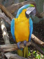 Parrot (Kent Hop Vine) Tags: bird parrot colourful macaw