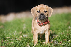 puggle (mosippy) Tags: cute puppy adorable minneapolis 9weeks puggle loringpark notmydog canonef70200mmf28lis jinda explored