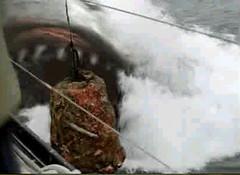 28 megalodon caught chum