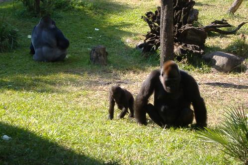 gorillas busch garden