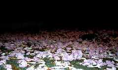 romantic (CRASH:candy) Tags: pink sweet romantic shedding bedofflowers fallenflowers crashcandy winterinhawaii pathtomyhouse