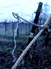 Winter Sadness (inka7791) Tags: winter cold ice nature wine brina natura spine uva inverno freddo ghiaccio vigna
