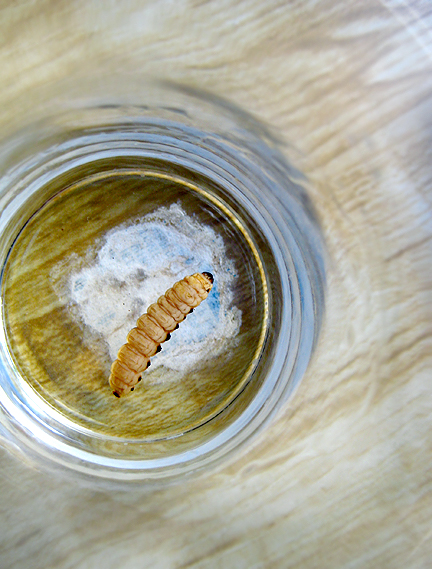 Gusano Worm in Mezcal