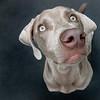 mukh mukh (saikiishiki) Tags: portrait dog chien love beautiful square grey eyes backyard ghost gray hound hond trampoline perro hund weimaraner kawaii 5bestdogs ♥ perra inu omoshiroi weim greyghost mukha vorstehhund 20f weimie thelittledoglaughed waimarana saikiishiki petsaroundtheworld