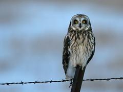 Prairie Hunter (Random Images from The Heartland) Tags: chris birds southdakota aves bailey owl owls chrisbailey shortearedowl asioflammeus featheryfriday chrisbaileyimages