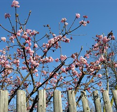 SPRING came for a short visit to Jena! (Linda6769) Tags: pink blue sky cloud flower fence germany garden town thringen wooden bush blossom wolke bluesky jena thuringia woodenfence zaun blte blauerhimmel cloudysky blooming wolkig bloomingtree thuringian cloudlesssky lobeda blhend gartenblume wolkenloserhimmel holzzaun bewlkterhimmel viburnumbodnantense altlobeda duftschneeball blhenderbaum bodnantschneeball