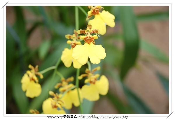 DSC_2573文心蘭