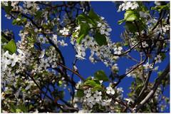 Blooming Tree (TPorter2006) Tags: white flower tree nature march texas medal 2008 blooming photofaceoffwinner pfogold tporter2006