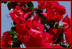 Red Passion (Eye on World (.)) Tags: santa flowers sky home bougainvillea ritas qatar trinitarias bouganville veraneras floresbugambiliasveraneras excellentsflowers