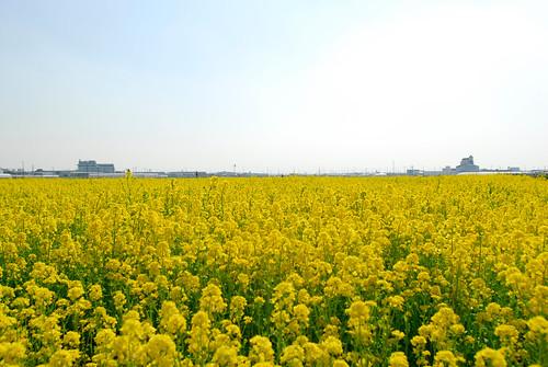 菜の花│花│無料写真素材