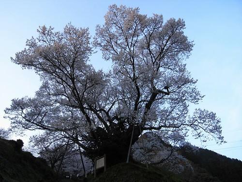 仏隆寺-千年桜