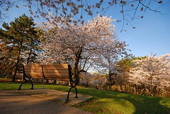 Bench (swilton) Tags: flowers trees toronto ontario bench dawn spring nikon highpark path sigma flowering blooms 1020mm cerry d40x