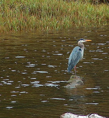 Great Blue Heron (Garry's lens....) Tags: bird heron nature water beauty river outdoors naturesfinest anawesomeshot