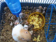 Maya and her Young (kidtrip) Tags: pets animals babies eating cage mama hamster multicolored hamsters