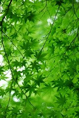 Green*Green (yoshiko314) Tags: plant green leaves bokeh fresh momiji dreamy gradation boke earlysummer refresh d60  japanesemapletree 55mmf28aismicro mywinners abigfave excellentphotographerawards top30green alemdagqualityonlyclub