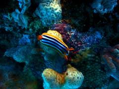 (Sammi8701) Tags: life red sea nature coral hotel marine egypt scuba diving sealife el arabic east saudi arabia species slug nudibranch colourful middle conrad ras sharm poisonous shikh sammi8701 ghamilia