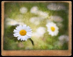 Take me !!! (al.gc) Tags: flowers flower texture fleur fleurs lens bokeh textures marguerite flou alg alg7