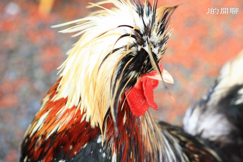 怒髮沖冠 屏欄處 公雞 20110528-341-J的閒聊
