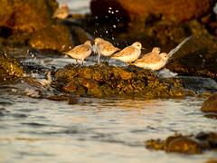 Familia feliz. Playa Las Meloneras, Gran Canaria (Jesus de Blas) Tags: sea birds grancanaria mar playa canarias aves rocas meloneras supershot top20yellow
