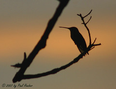 Ruby-throated Hummingbird Silhouette - first light (Archilochus colubris) (Paul Hueber) Tags: bird nature birds silhouette canon hummingbird florida wildlife aves ave handheld avian rubythroatedhummingbird seminolecounty altamontesprings centralflorida archilochuscolubris rthu musicarver