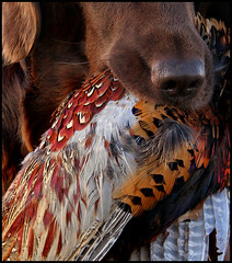 Fur & Feathers (Blazingstar) Tags: pheasant fetch lupine flatcoatedretriever anawesomeshot