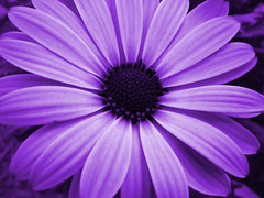 Purple Passion (Canicuss) Tags: flower macro closeup intense purple violet panasonic deeppurple catchycolorspurple purplepassion flowerpictures fz7 superhearts colourartaward canicuss