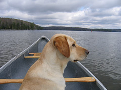 Canoeing Labrador Retriever