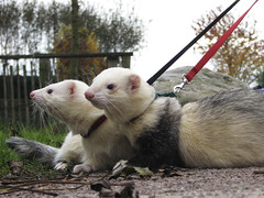 taking the ferrets for a walk by hans s, on Flickr