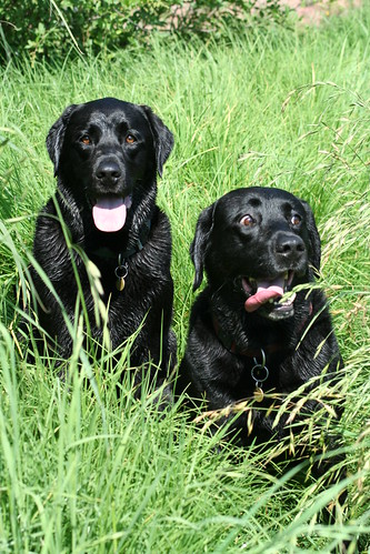 Two pretty black labs