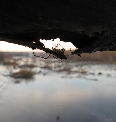 gigantor spider