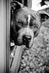 I'm watching you (lulu.photo) Tags: dog nikon pitbull rocco d300 nikkor85mm luluphoto