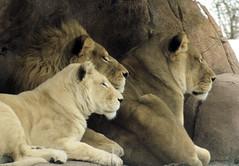 nokanda and family (conwest_john) Tags: lions blueribbonwinner abigfave impressedbeauty diamondclassphotographer flickrdiamond conwestjohn jalalspagesanimalkingdom