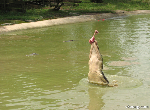 crocodile snatched feed