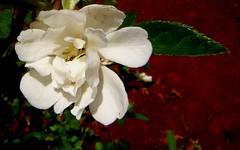 Branca (Dircinha -) Tags: flower flor branca jasmim excellenceinfloralphotography fantasticflower flickrsfantasticflowers mykindofpicturegallery dircinha flowersarefabulous fabulousflowerspostpicture