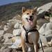 柴犬:on the rocks