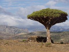 Socotra Dragon Tree (Dracaena cinnabari) in the Diksam Plateau, Socotra (twiga_swala) Tags: ocean tree blood dragon plateau indian yemen dracaena dragontree socotra soqotra cinnabari dragonbloodtree dixam diksam