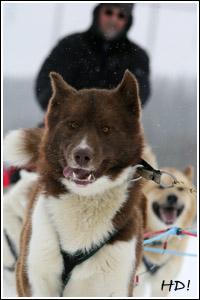 A_Grönlandhund_Joerg_QL9T1017_WEB