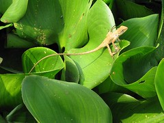 Lizard in the water hyacinths