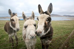 Dunaff Donkeys (greenwood100) Tags: ireland sea cute field animals fur nose bay eyes funny faces donkeys ears humour eire atlantic explore mad beasts donegal binnion nostrils inishowen clonmany iso160 dunaff rockstow