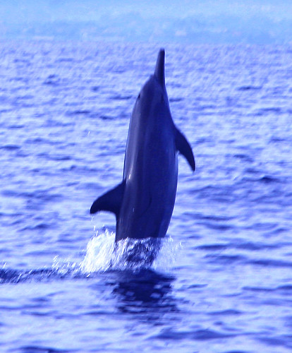 Jumping Dolphin at Lovina Beach