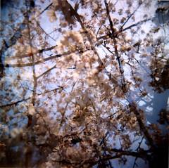 SAKURA (Muzu) Tags: film japan holga