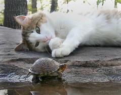 """Where ya headed Little Buddy?"" (8781a) (zormsk) Tags: woodland turtle tortoise shell arkansas calicocat boxturtle encounter zormsk kissablekat bestofcats anawesomeshot"