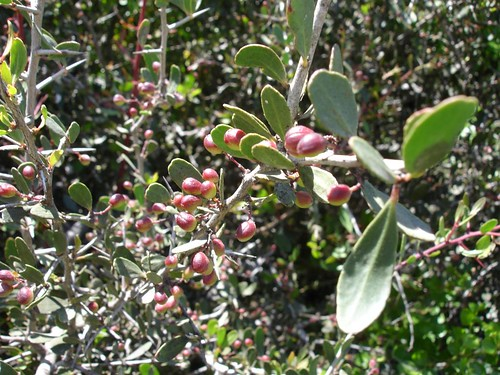 frutos maytenus senegalensis var. europaea Estados Alterados