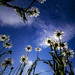 Daisy Chain by Only This