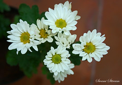 daisy (Swami Stream) Tags: india white flower macro canon rebel bangalore daisy 60mm karnataka banaglore ulsoor bengaluru xti osborneroad diamondclassphotographer usmmacro swamistreamcom